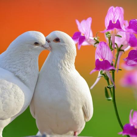 pigeons: deux �pris de colombes blanches et papillons orchid�e, fleur Banque d'images