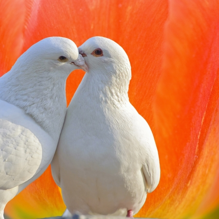 two loving white doves Stock Photo - 14090475