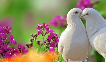 white dove: dos palomas blancas y amantes de hermosas flores de color p�rpura