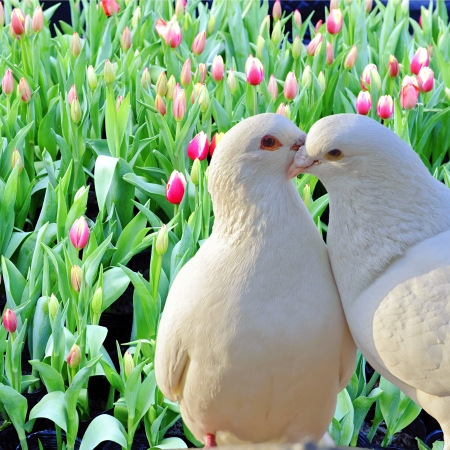 two loving white doves and fresh tulip flowers photo