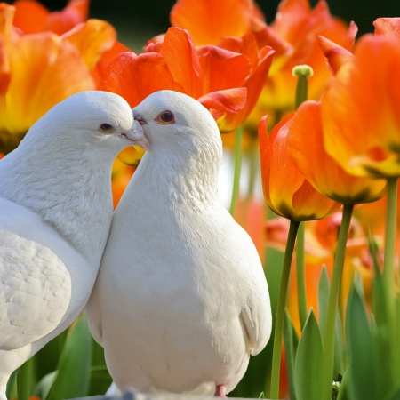 white pigeon: two loving white doves and beautiful tulip flowers