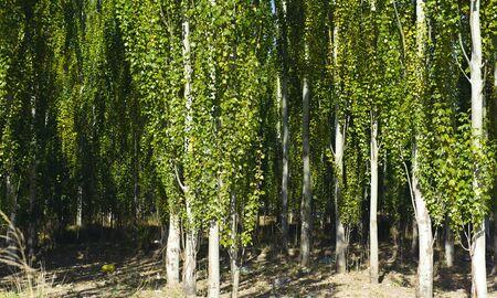 The white poplar photo