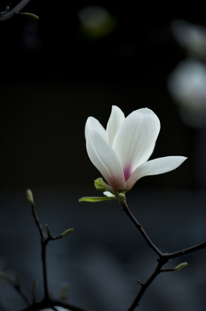 white Magnolia denudata flower in a garden at spring photo