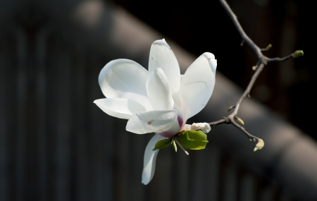 Magnolia denudata flower in a garden at spring photo