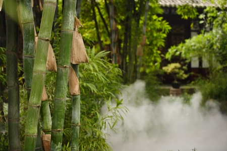 green bamboo groves in the mist photo