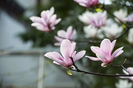 Magnolia denudata flower in a garden at spring photo