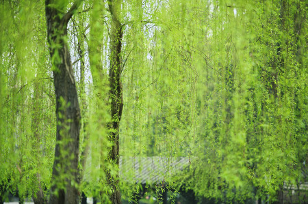 greenness: Weeping willow leaves of greenness in a garden at spring