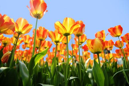 backlighting: backlighting tulip flower
