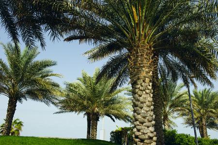 date palm: date palm tree