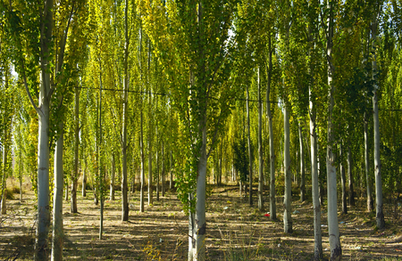 poplar: The white poplar Stock Photo