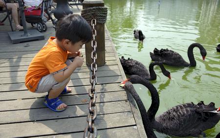 boy and black swan photo