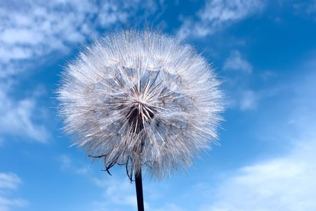 Dandelion on blue sky background with clouds