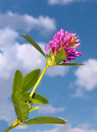 Clover flower on a background of blue sky with clouds photo