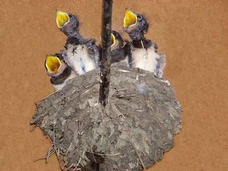 Young swallows in the nest with open beaks waiting for their parents photo