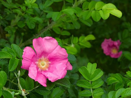 Wild rose that grew at the highest point of the city Lviv, Ukraine. Approximately 413 meters above sea level