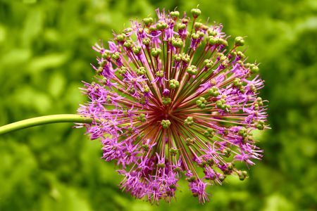 Inflorescence of allium at the end of flowering period