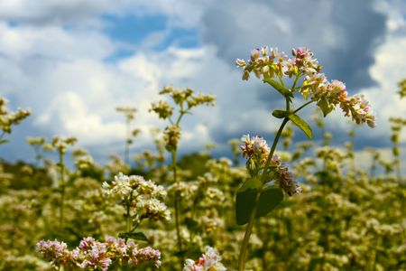 Buckwheat inflorescence on the background of buckwheat fields