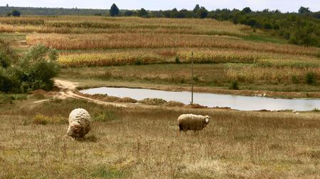 Rural landscape. Sheep graze in a meadow Stock Photo - 7787602