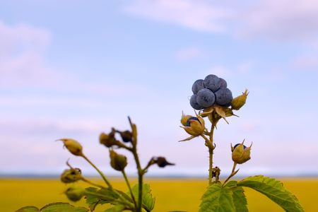 Bluish blackberries berries on the background field and sky photo
