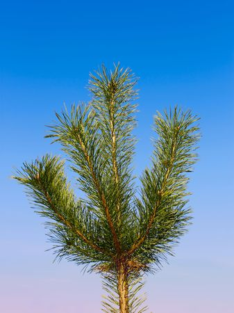 softwood: Young pine. Green softwood tree against blue sky Stock Photo