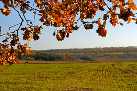 winter wheat: Sown with winter wheat field. In the foreground oak branches with autumn foliage yellowed Stock Photo