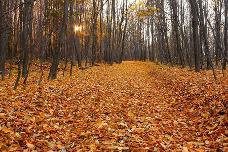illuminati: Taglio-attraverso nel legno Carpino caduta, rivestiti con colori rosso e giallo di foglie morte. Luce del sole va gi�, illuminato attraverso gli alberi nudi