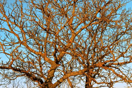 The branches of the old Walnut trees covered with moss on a yellow background of blue sky at sunset Stock Photo