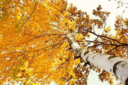 A birch tree in autumn season. Lateral view. The branches of yellow leaves driveth wind photo