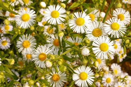 Daisy. White wild flowers in early autumn