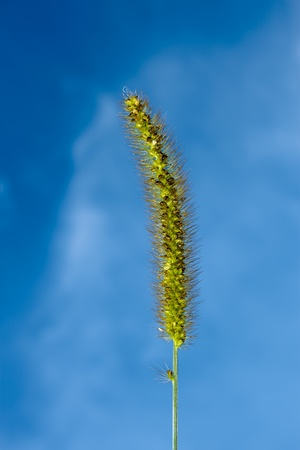 Foxtail green closeup against blue sky background. Latin name: Setaria viridis Stock Photo - 8349499