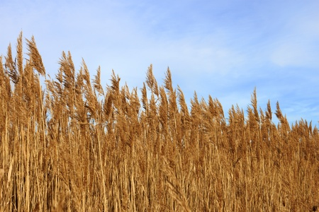 Tops dry plant cane on the background of blue sky. Latin name: Phragmites australis  photo