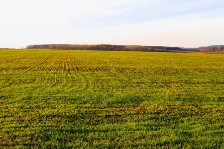 Sown winter wheat field. Late autumn, fine day Stock Photo