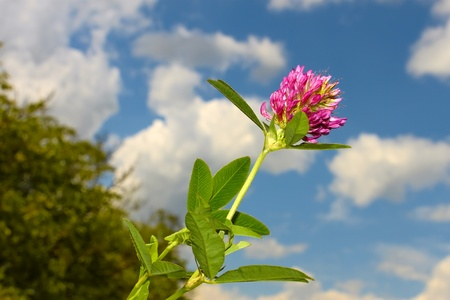 Clover flower against of blue sky with clouds photo