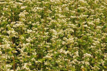 A lot of buckwheat plants in the intensive blossoms period Stock Photo - 8825627