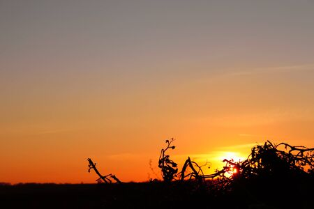 Colored glow in the sky at sunset. Sun rays shine through the silhouettes of dry plant Stock Photo - 8825654