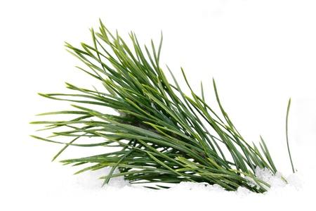 branche pin: Branche de pin humide vert incorpor� dans la neige sur un fond blanc Banque d'images