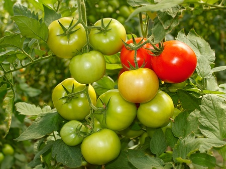 Bunch with green and red tomatoes growing in the greenhouse Stock Photo