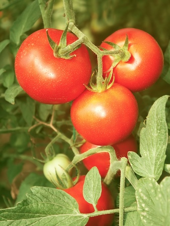 Bunch with red tomatoes growing in the greenhouse
