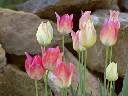 Group colored tulips on a background of large stone blocks photo