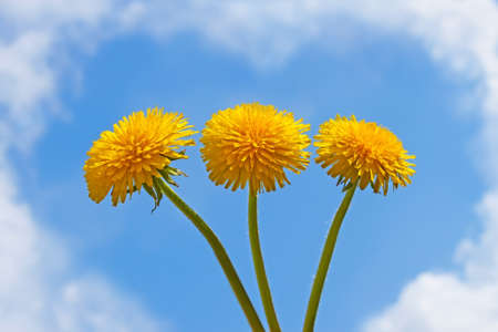 Three dandelion flowers on a background of a blue sky with clouds photo