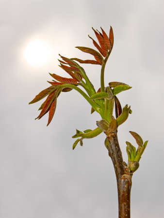 The young spring walnut sprout in the period of rapid growth. In the background gray cloudy sky with a dim sun photo