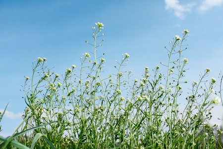 Flowering crucials plants on the background of blue sky. Common name of plant is Shepard's Purse, latin name - Capsella bursa-pastoris Stock Photo