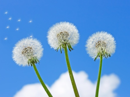 Three dandelion plants on a background of a blue sky with clouds