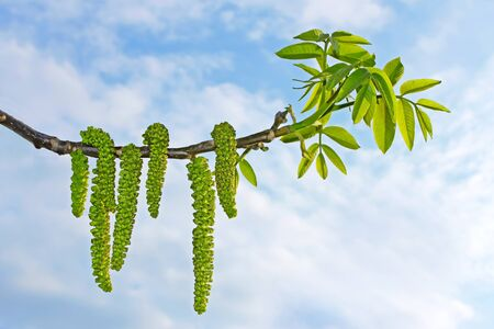 Flowering branch of walnut on the background of cloudy sky photo