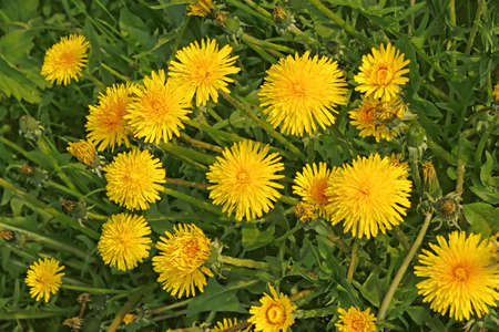 A group flowering yellow dandelions growing in the meadow photo