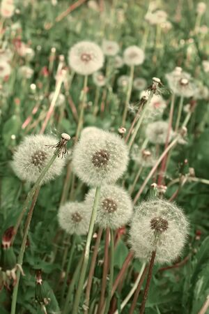 Many fluffy dandelions growing in the meadow photo