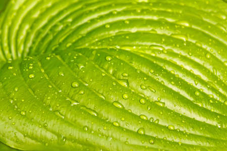 A big leaf of light green colours with water drops photo