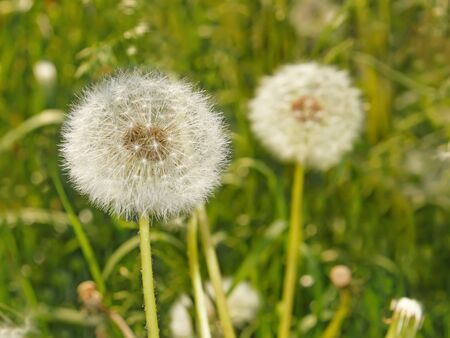 Fluffy dandelions growing on the spring meadow photo