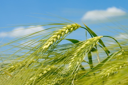 Barley spikelet on the background of field and sky