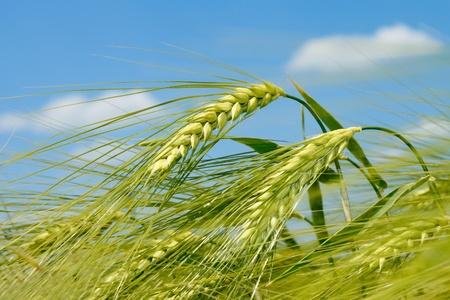 cebada: Espiguilla de cebada en el fondo del campo y cielo Foto de archivo